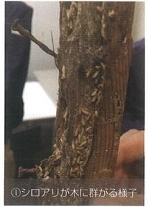 木に群がるシロアリ
