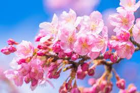 河津桜開花とツボミ