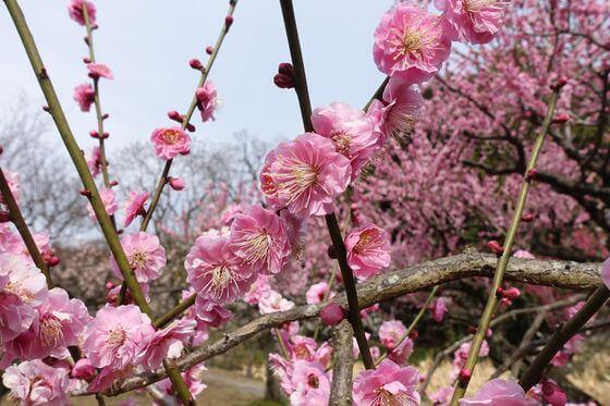 小石川植物園 梅2