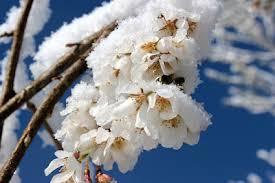 練馬区の雪間草 白