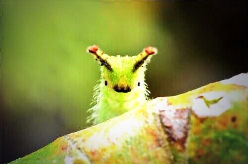 練馬区で観たオオムラサキの幼虫