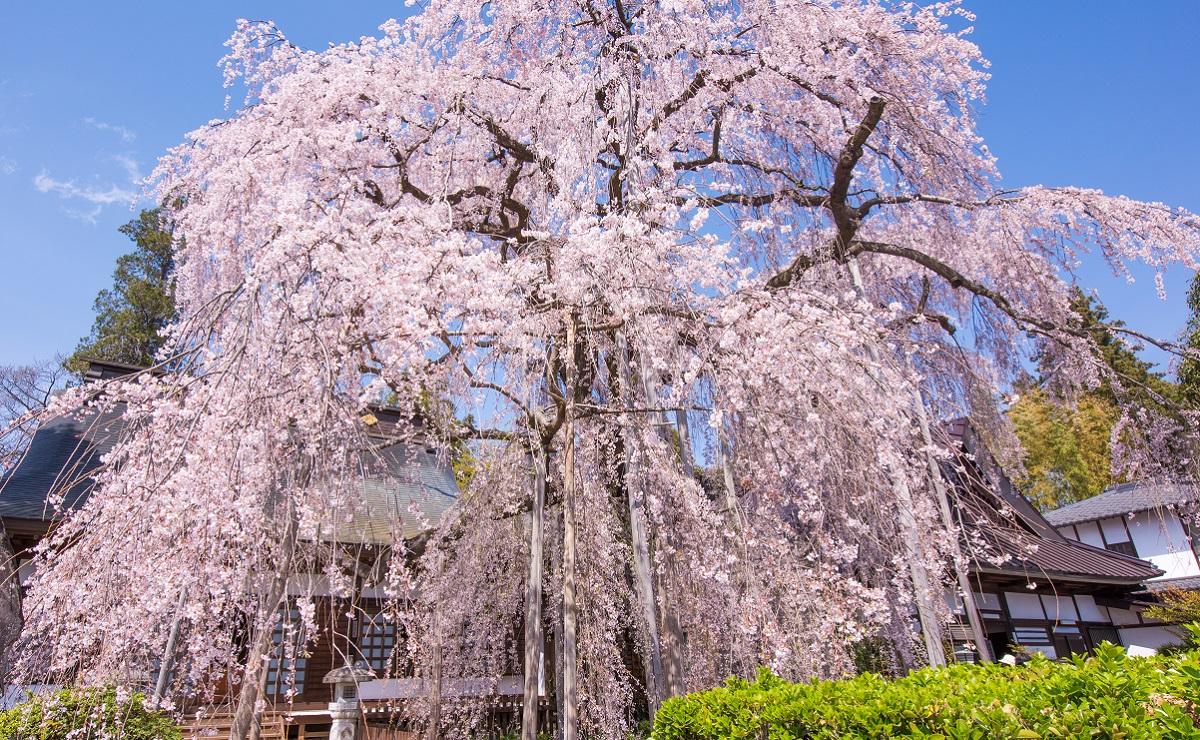 練馬の枝垂れ桜