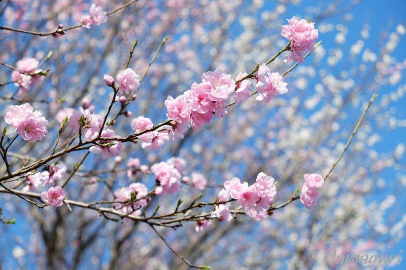 練馬区の桃の花
