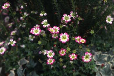 練馬区の雪間草ピンク