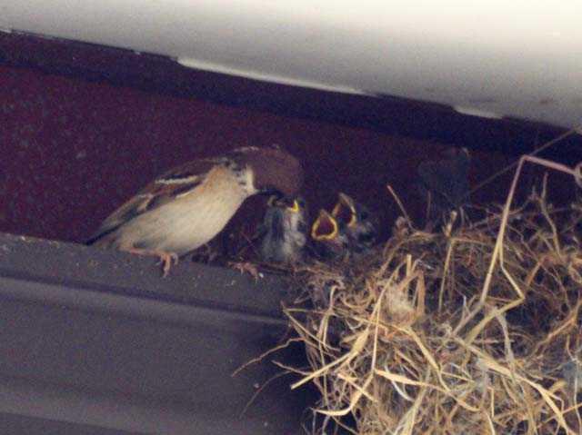 練馬区の雀始めて巣くう