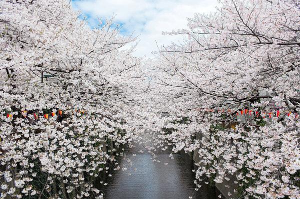 練馬の川沿いの桜並木