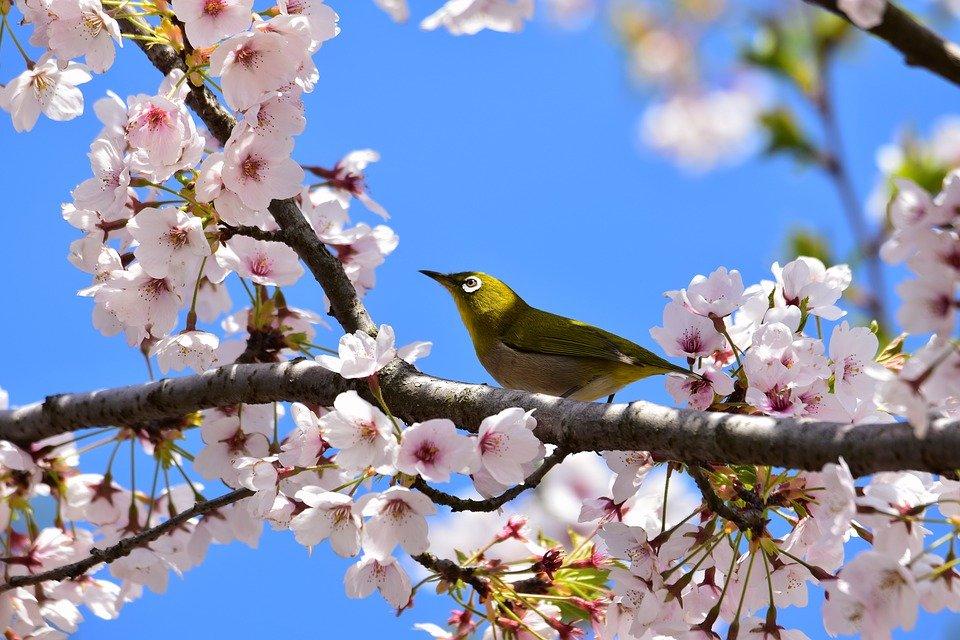 練馬区の桜満開