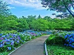 練馬区の紫陽花と五月晴れ