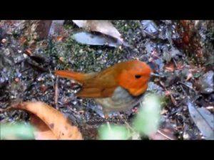日本三鳴鳥 コマドリ