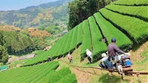 茶畑の新茶摘み