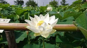 古代蓮の白い花