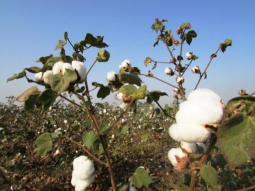 綿花の刈り入れ