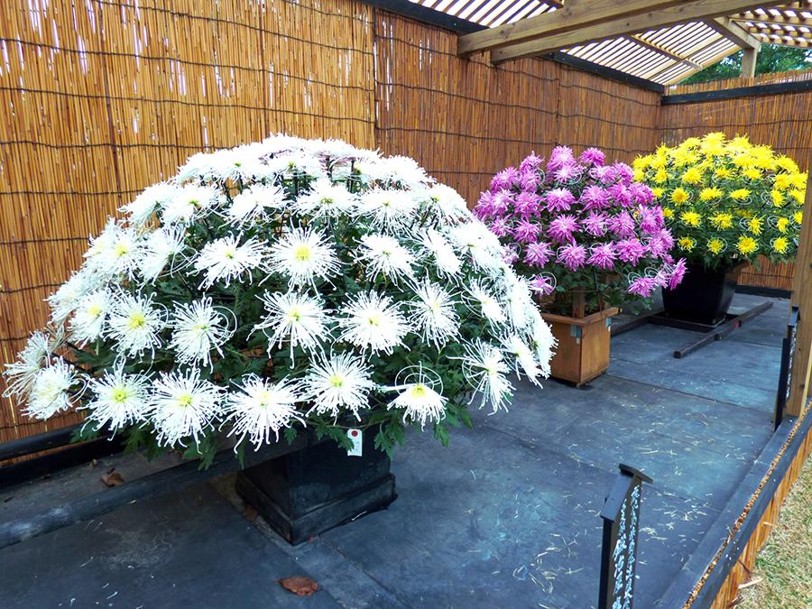 菊の花品評会