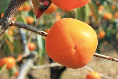 橙に色づいた柿