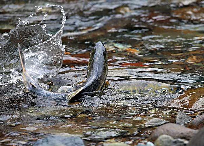 鱖魚(さけ)群がる