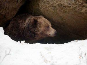 熊穴に蟄る(くまあなにこもる)ヒグマ
