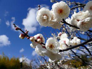 春告草(はるつげぐさ)